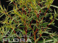 Agonis flexuosa - willow myrtle 'Swan River Babe'