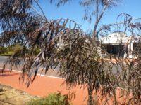 Agonis flexuosa willow-peppermint 'After Dark'