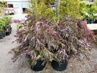 Agonis flexuosa willow-peppermint 'Burgundy'