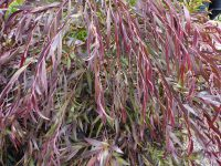 Agonis flexuosa willow-peppermint 'Burgundy'