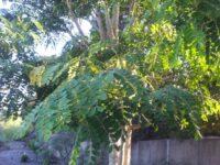 Albizia procera - mimosa