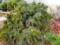 Allocasuarina tortiramula - twisted she-oak