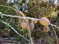 Allocasuarina torulosa - forest she-oak seed pods