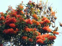 Alloxylon flameum - tree waratah