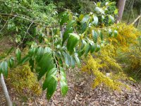 Alphitonia excels - red ash is a useful rainforest tree
