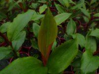 Alpinia caerulea - red-back native ginger