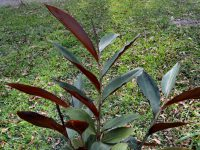 Alpinia caerulea - red back native ginger is edible and a good bush tucker plant