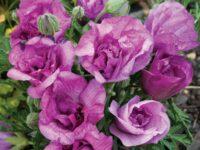 Alyogyne native hibiscus 'Delightfully Double'
