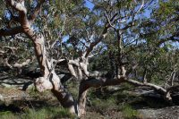 Angophora costata - red gum