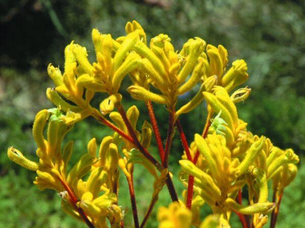 Anigozanthos flavidus x pulcherrimus 'Yellow Gem'
