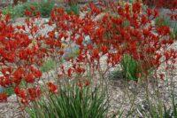 Anigozanthos flavidus 'Bush Endeavour'