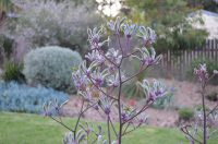 flowers in close up of Landscape Lilac kangaroo paw