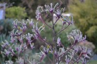 Anigozanthos Landscape Lilac is a tall and tough flavidus kangaroo paw