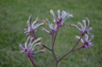 Kangaroo paw 'Landscape Lilac'