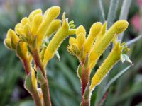 Anigozanthos 'Bush Bonanza' is a smaller kanagroo paw with bright yellow flowers