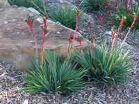 Anigozanthos 'Bush Dance' is a beautiful red and green kangaroo paw