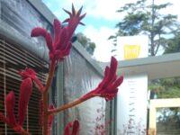Anigozanthos kangaroo paw 'Big Red'