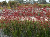 Anigozanthos 'Big Red' is a tall kangaroo paw