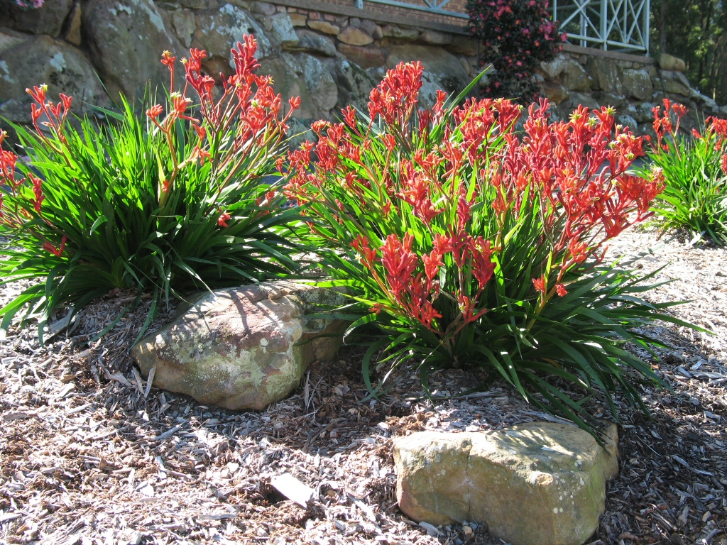 Anigozanthos 'Bush Elegance' is a good smaller variety of kangaroo paw