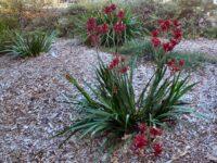 Anigozanthos 'Bush Fury' is a good medium sized kangaroo paw with red flowers