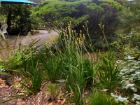 Anigozanthos kangaroo paw 'Bush Gold'