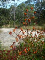 Anigozanthos kangaroo paw 'Bush Revolution'