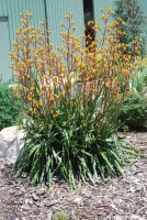 Anigozanthos kangaroo paw 'Cross of Gold'