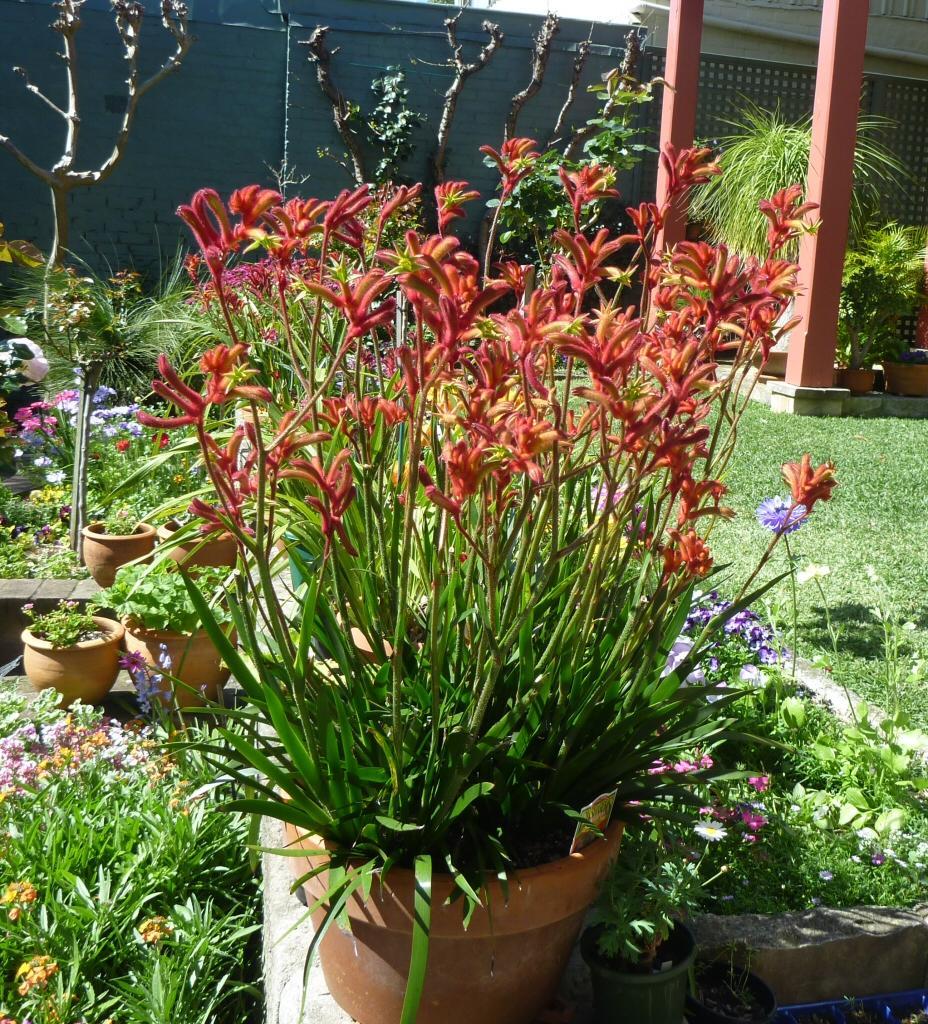 anigozanthos rampaging roy slaven kangaroo paw gardening with angus. Black Bedroom Furniture Sets. Home Design Ideas