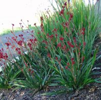 Anigozanthos kangaroo paw 'Ruby Velvet'