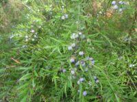 Austromyrtus dulcis - migdgin berries