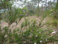 Austromyrtus migdgin-berry 'Coppertops'