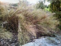 Austrostipa ramosissima - bamboo grass