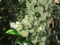 Babingtonia virgata is also known as Baeckia virgata