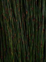 Baloskion pallens restio 'Didgery Sticks'