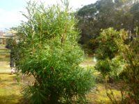 Banksia aquilona - northern banksia