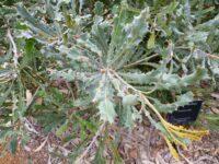 Banksia caleyi - Caley's banksia