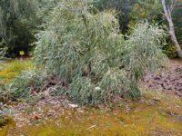 Banksia elegans - elegant banksia