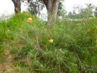 Banksia hookeriana - Hooker's banksia