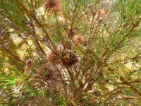 Banksia incana - Hoary banksia