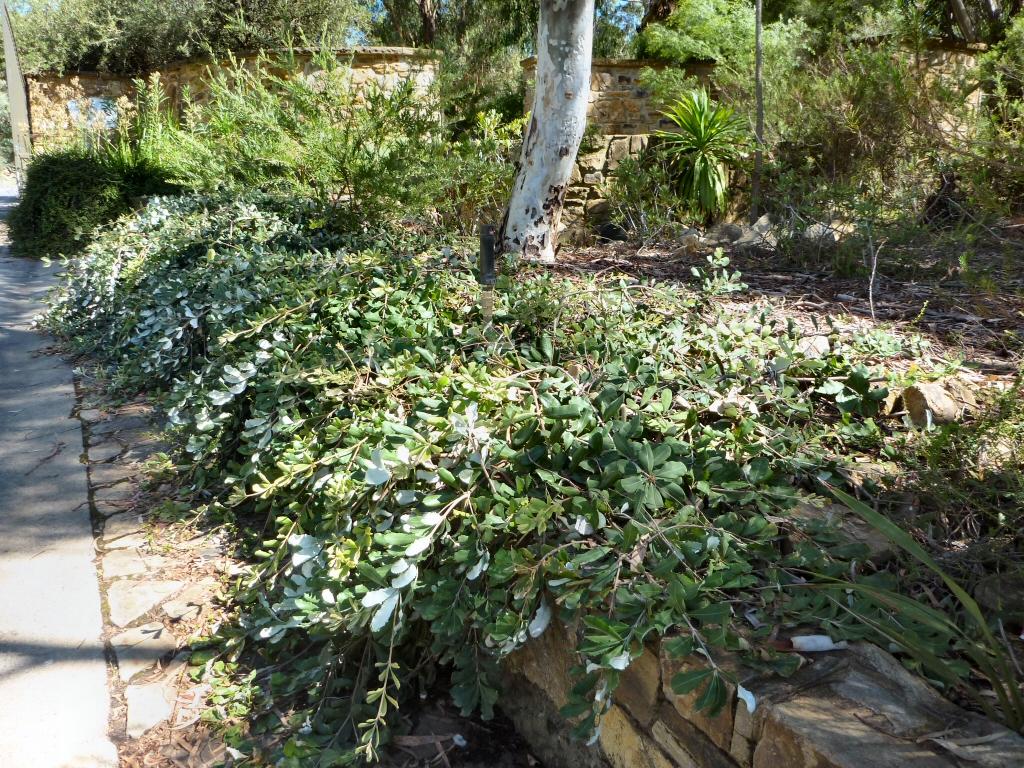Garden Bush: Banksia Integrifolia 'Roller Coaster' Banksia