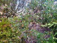 Banksia laevigata- golden ball banksia is a western australian handsome banksia