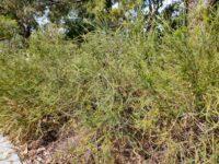 Banksia laricina - rose fruited banksia