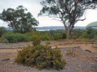 Banksia lemmanniana - golden ball banksia