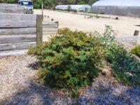 Banksia marginata silver banksia 'Mini Marg'