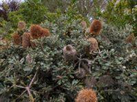 Banksia media - golden stalk banksia