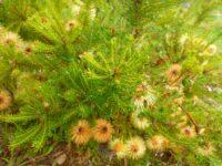 Banksia meisneri - Scott River banksia