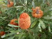 Banksia menziesii has large orange nectar rich flowers