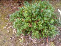 Banksia micrantha