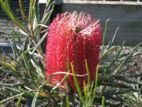 Banksia occidentalis - waterbush banksia