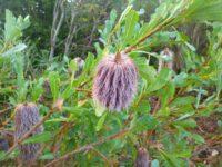 Banksia oreophila - western mountains banksia